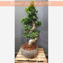 Bonsai-apartir150euros.jpg