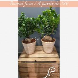 bonsai_ficus.jpg